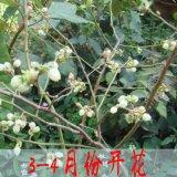 藍莓樹苗果樹苗庭院室內四季盆栽地栽苗南北方種植當年結果藍莓苗