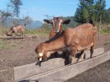 利川深山直銷放養波爾雜交山羊