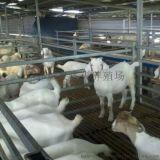 到哪裏去買純種波爾山羊小種羊
