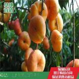 美國紅蟠桃樹苗多少錢一棵 美國紅蟠樹苗基地批發價格