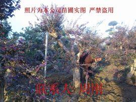 红花继木桩盆景、赤楠盆景、苏州造型景观树种植基地、别墅苗木批发