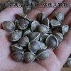 云南满泽辣木籽产地/印度辣木籽品种大颗粒食用种植