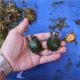 火焰龜 紅腹火焰龜 進口小寵物龜活體重5至8克
