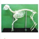 动物标本 羊骨骼标本 教学标本
