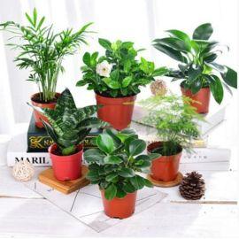 栀子花幸福树鸭脚木办公室内绿植小盆栽绿色植物花卉盆景净化空气