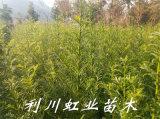 红豆杉/南方红豆杉树苗