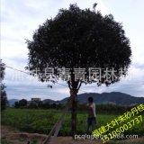 丹桂之鄉批發浦城丹桂樹直徑15公分 蓬徑4米左右