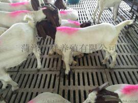 大量波尔山羊 纯种波尔山羊苗 波尔山羊价格