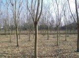 好景园林常年出售各种规格无患子树苗