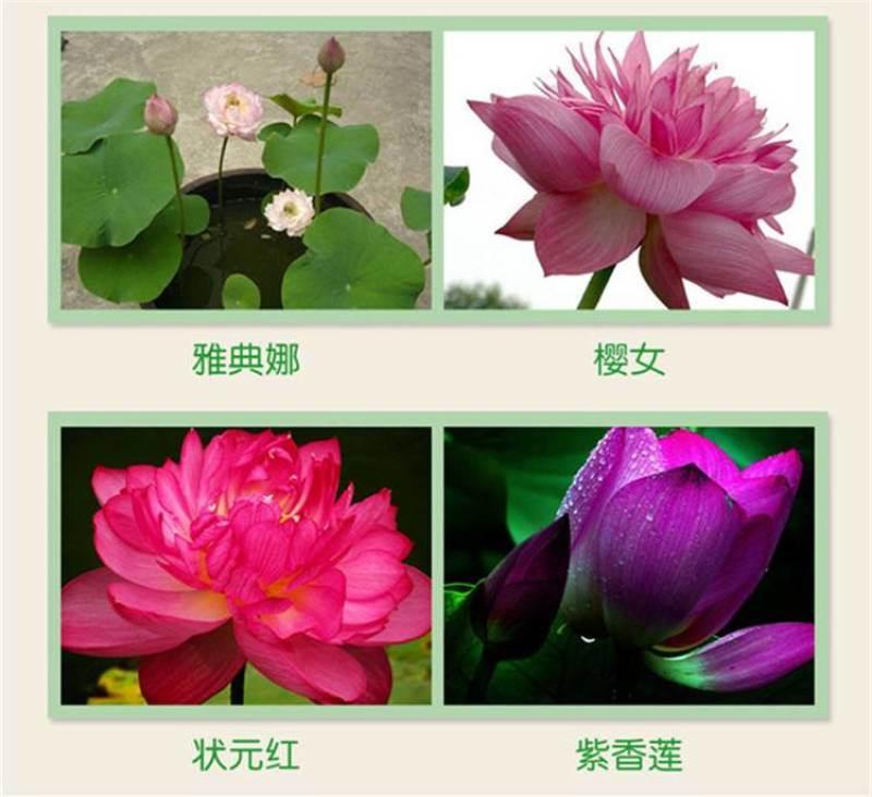 新地摊跑江湖火爆热销产品---四季碗莲种子盆景