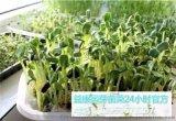 哪能学习芽苗菜种植的方法-益康园芽苗菜