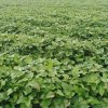 脫毒紅薯苗基地-高產高澱粉紅薯苗供應