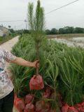 求購溼地鬆苗--湖北旭森農業溼地鬆基地