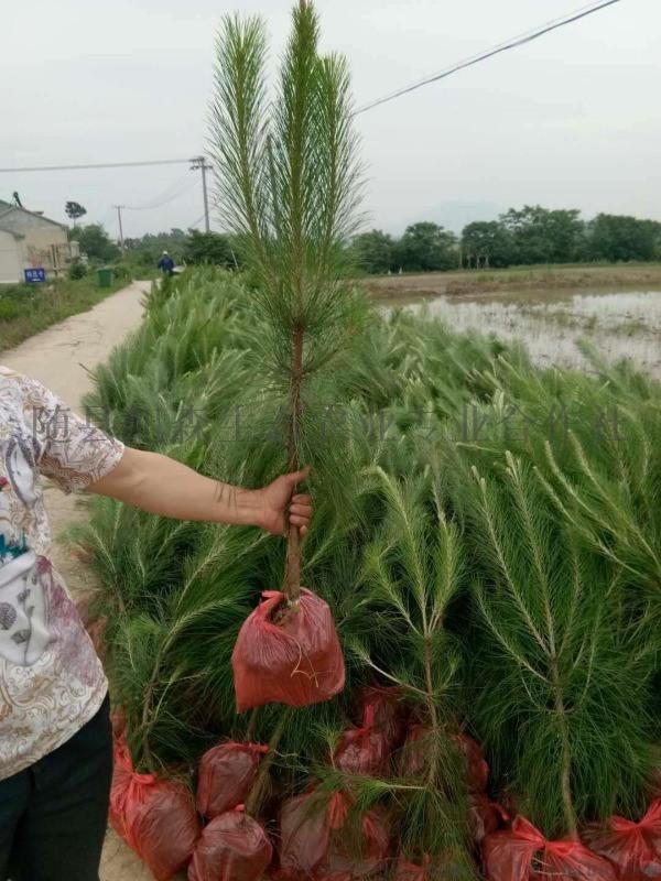 求购湿地松苗--湖北旭森农业湿地松基地