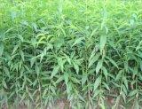 供應桃苗,品種多樣,數量巨大,苗圃出苗