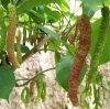 供應果桑苗品種大型玫瑰果桑樹苗批發