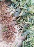 雲南枇杷苗供應