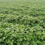 脫毒紅薯苗基地-紅薯苗質量