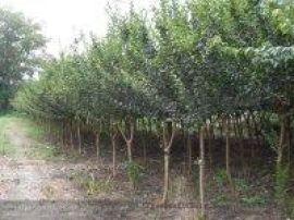 50-80高紫薇小苗,4公分紫薇苗,5公分紫薇苗木