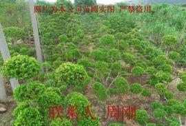 苏州黄杨树种植基地、瓜子黄杨、小叶黄杨树、庭院别墅绿化苗木批发