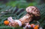 西藏松茸多少钱一斤-藏红花的价格及图片-林芝华腾商