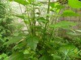 豆腐柴/观音树/豆腐树苗