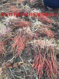 山東丹蔘種苗量大從優質量保證
