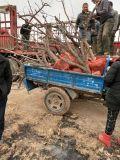 8公分佔地棗樹 10公分佔地棗樹供應商