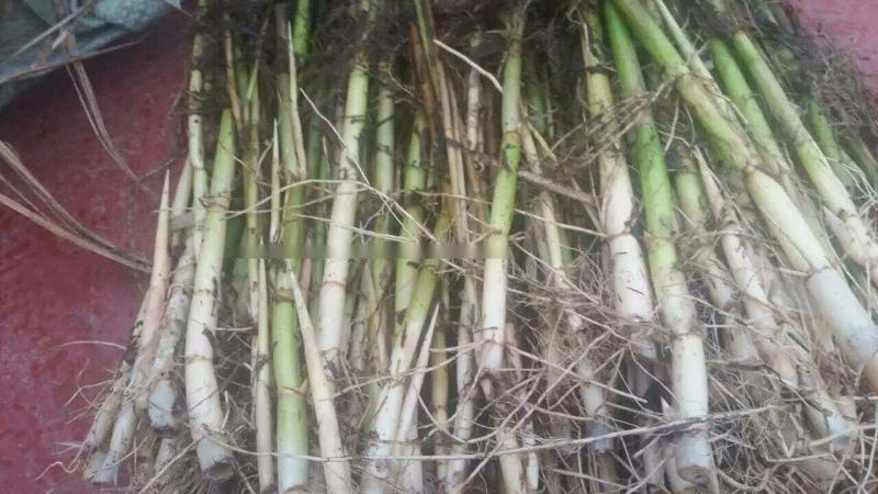 大量供应水生植物芦苇苗耐寒芦苇苗耐盐碱芦苇