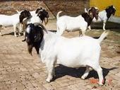 【十堰波尔山羊养殖场】长势**快的纯种波尔山羊种羊