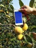 陽豐甜柿苗價格 山西陽豐甜柿子苗價格