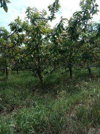 10公分櫻桃樹產地 12公分佔地櫻桃樹多少錢一棵