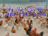 湖南農發禽業供應優質青腳土雞苗