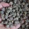 雲南滿澤印度辣木籽圖片,食用種植辣木子
