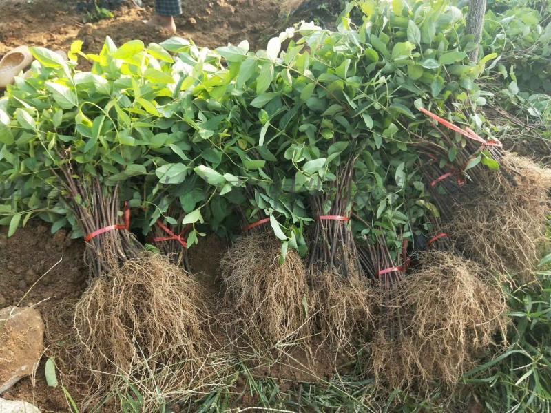 萬豐農新品種優質金銀花