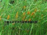 供应河北芦苇种植基地 湿地芦苇种植技术