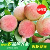 桃樹苗 嫁接黃桃水蜜冬桃苗晚熟南北方種植地栽特大包郵當年結果