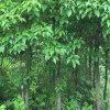 香樟树苗庭院绿化龙树苗 小苗驱蚊树 乌樟驱蚊虫苗