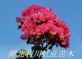 湖北利川紫薇苗