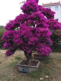 三角梅大桩景 花多种类多室外盆栽批发价