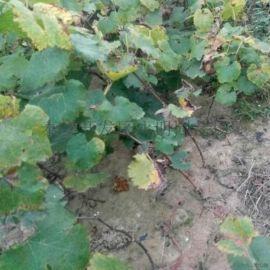 巨峰葡萄苗怎样种植 占地葡萄苗价格