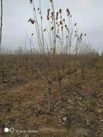 5公分果桑樹 6公分桑甚樹產地 7公分桑葚樹