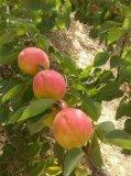 陝西杏子豐園紅杏價格