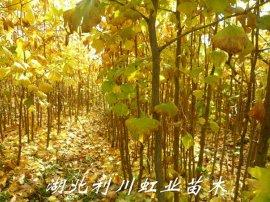 银杏苗/30公分—1米以上银杏苗价格