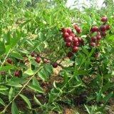 钙果苗价格 山西农大钙果苗种植基地