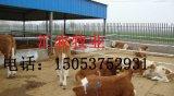 西門塔爾牛小牛犢價格