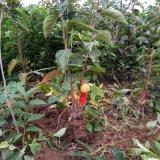 甜柿子苗产地 山西阳丰甜柿苗保湿邮寄