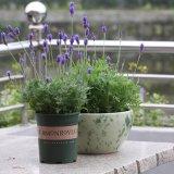 迷迭香盆栽 薄荷食用香草植物 西餐料理调料气味芳香绿植净化空气