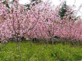 奥景园艺常年供应垂丝海棠