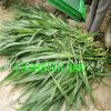 圣泰牌玉米秸秆收割机 DST1600型饲料收割机销售厂家